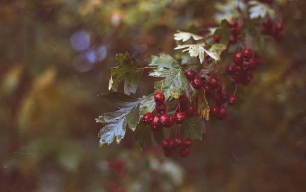 Фото обои листья, ягоды, красные