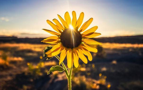 Фото обои листья, солнце, лепестки, стебель, бутон, подсолнечника