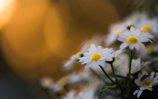 Фото обои лето, цветы, ромашки