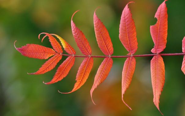 Фото обои осень, природа, лист, ветка