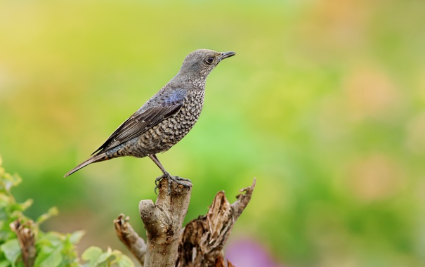 Фото обои синий, птица, ветка, каменный, дрозд