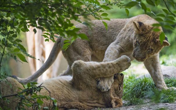 Фото обои трава, кошки, игра, ветка, котята, львята, ©Tambako The Jaguar
