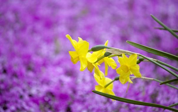 Фото обои фиолетовый, цветы, фон, размытость, жёлтые, нарциссы