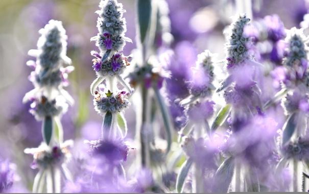 Фото обои лето, цветы, природа, лаванда