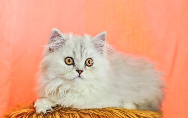 Фото обои кошка, кот, взгляд