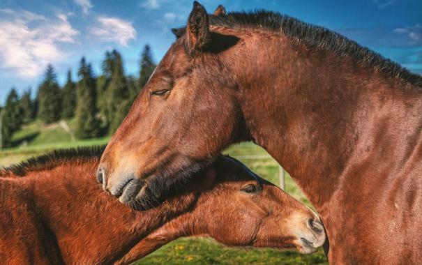 Фото обои небо, деревья, кони, обработка, лошади