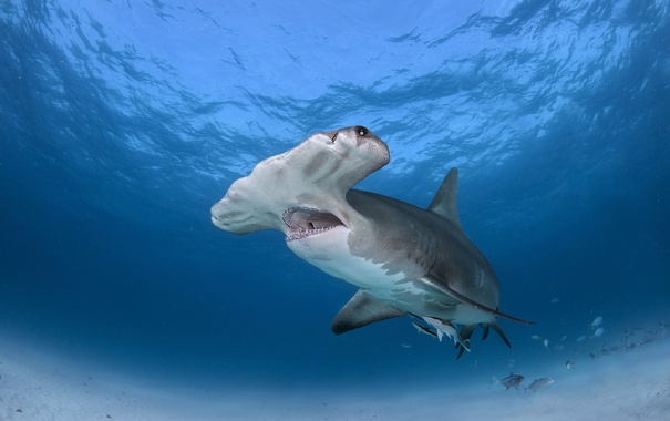 Фото обои море, рыба, Great Hammerhead Shark