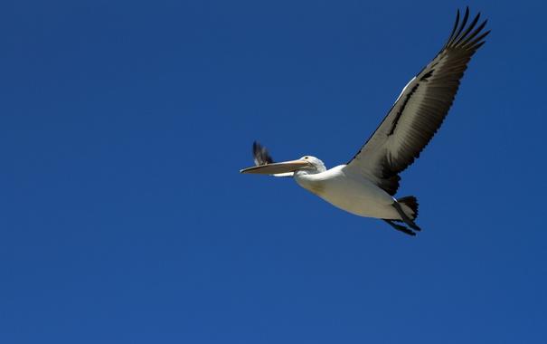 Фото обои небо, птица, полёт, пеликан