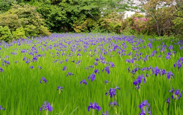 Фото обои трава, деревья, цветы, ирис