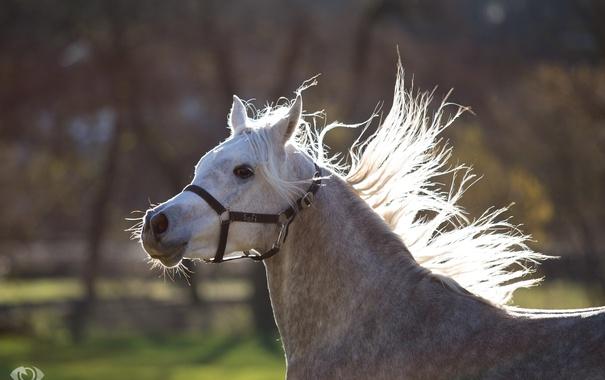 Фото обои морда, серый, движение, конь, лошадь, бег, грива