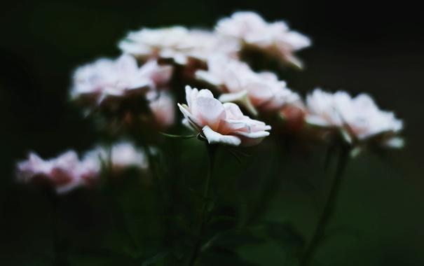 Фото обои цветы, лепестки, розовые, белые