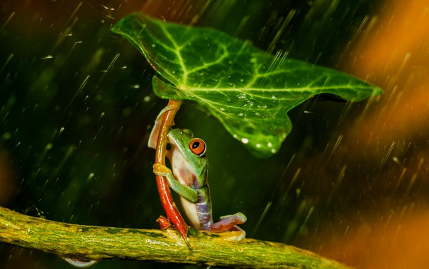 Фото обои лист, дождь, лягушка, лапки, зонт, зеленая, rain