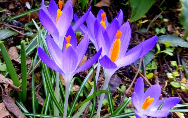 Фото обои природа, весна, лепестки, крокус