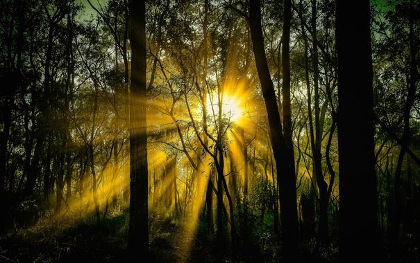 Фото обои лес, солнце, лучи, деревья, заросли, всет