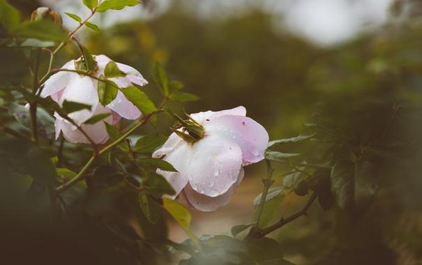 Фото обои капли, цветы, куст, розы, лепестки