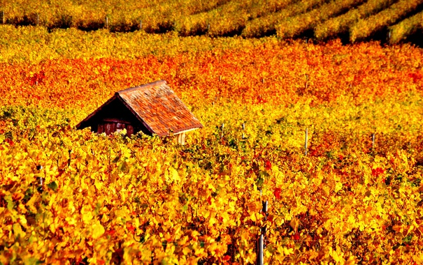 Фото обои осень, виноградник, домик, лоза