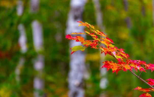 Фото обои багрянец, лес, осень, листья, ветка