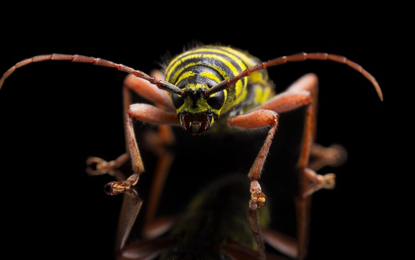 Фото обои Megacyllene caryae, Painted Hickory Borer, insect