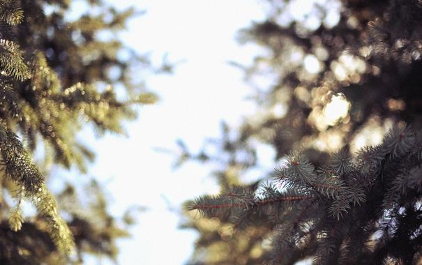 Фото обои иголки, ветки, елка, боке