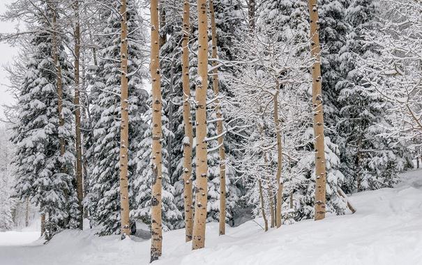 Фото обои зима, лес, снег, Winter, сосна, Snow, Forests