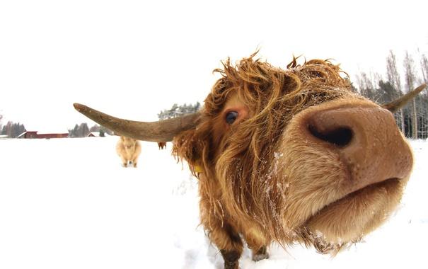 Фото обои морда, фон, корова
