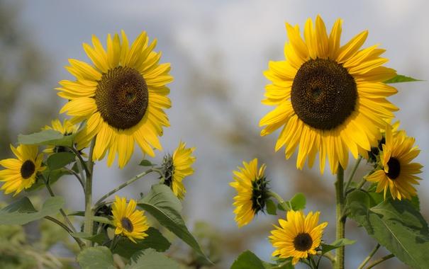 Фото обои цветы, подсолнух, лепестки, цветение, flowers, petals, sunflower