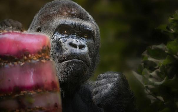 Фото обои обезьяна, горилла, кулак