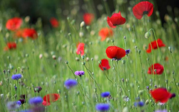 Фото обои цветок, красный, маки, лепестки