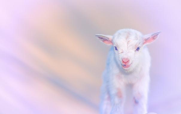 Фото обои природа, фон, goats