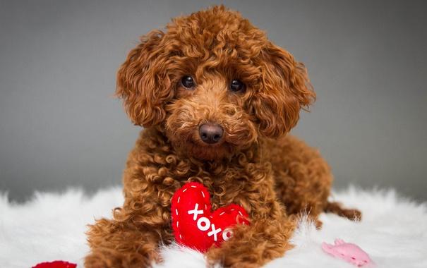 Фото обои глаза, сердце, собака, одеяло