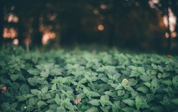 Фото обои листья, растения, крапива