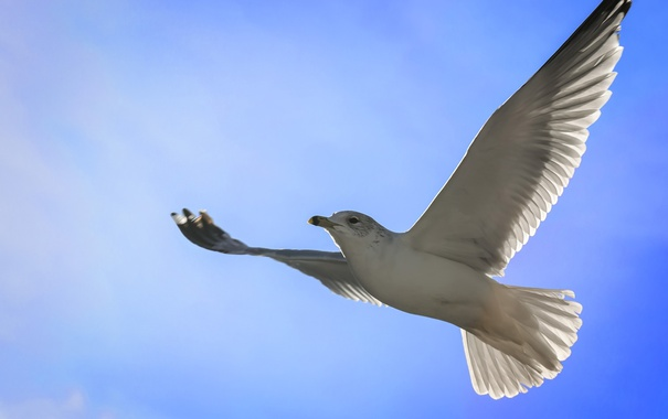 Фото обои небо, чайка, полет. крылья