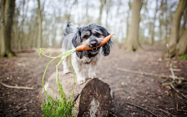 Фото обои взгляд, собака, морковка