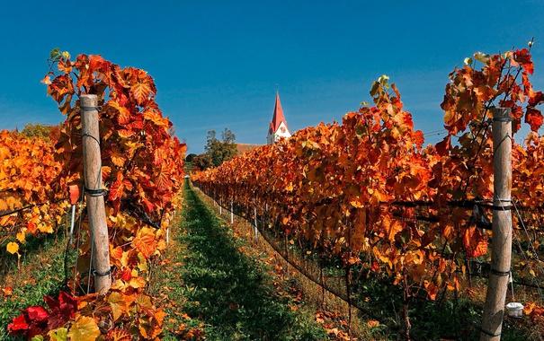 Фото обои осень, небо, дом, башня, Швейцария, церковь, виноградник