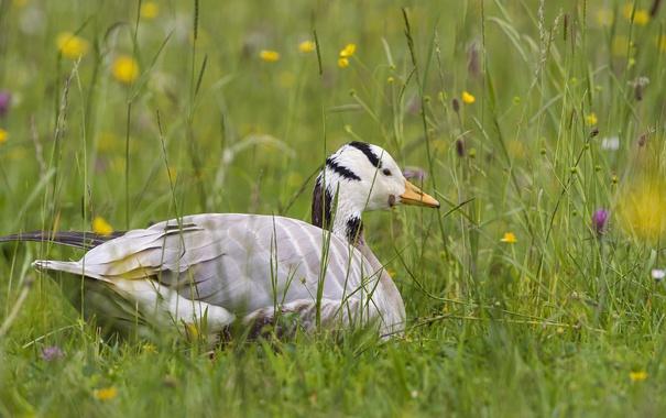Фото обои трава, птица, утка, ©Tambako The Jaguar