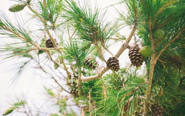 Фото обои иголки, дерево, шишки
