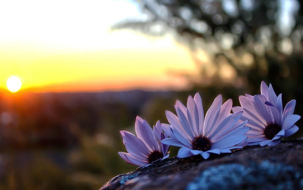 Фото обои цветы, солнце, камень