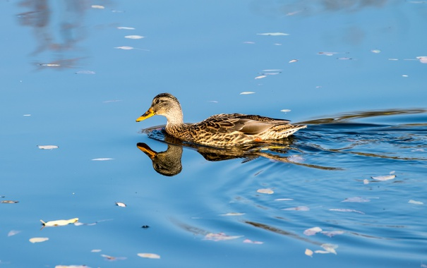 Фото обои lake, reflection, duck
