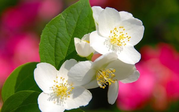 Фото обои листья, цветы, дерево, весна, лепестки, сад