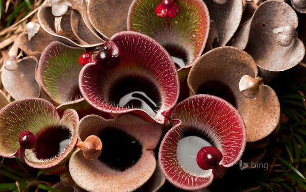 Фото обои цветы, шипы, Венесуэла, насекомоядное растение, болотная кувшинка, Национальный парк Канайма