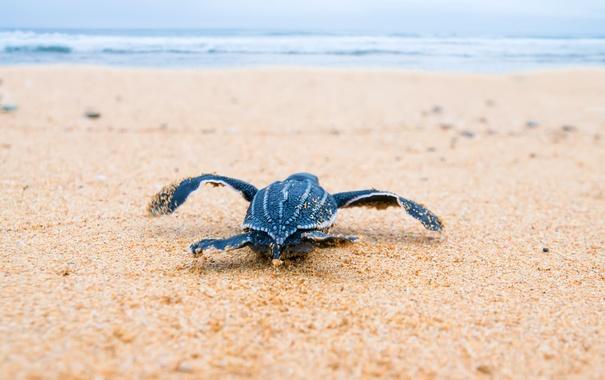 Фото обои breeding, sea, turtle