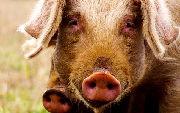 Фото обои взгляд, фон, свинья