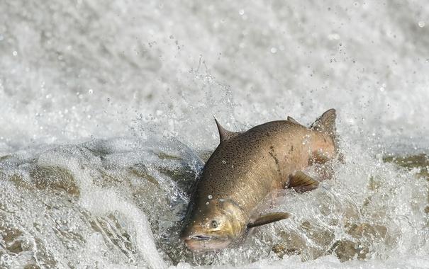 Фото обои FALL RUN, рыба, вода