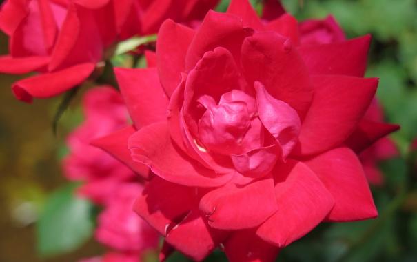 Фото обои макро, роза, розы, лепестки