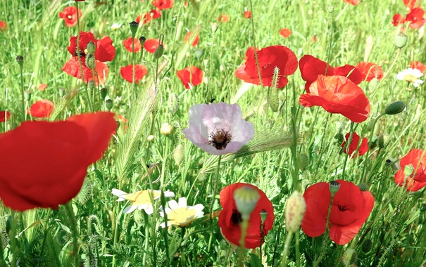 Фото обои поле, трава, цветы, маки, луг