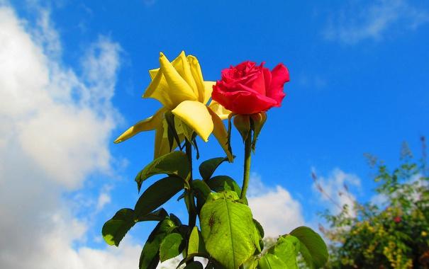 Фото обои листья, небо, куст, сад, роза, бутон