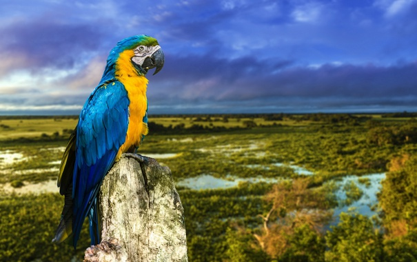 Фото обои птица, ветка, попугай, Сине-жёлтый ара
