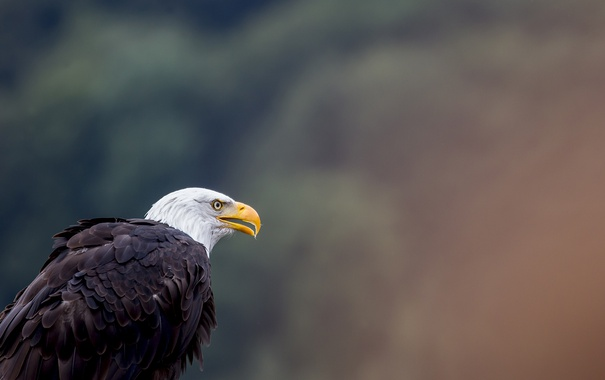 Фото обои bird, eagle, animal