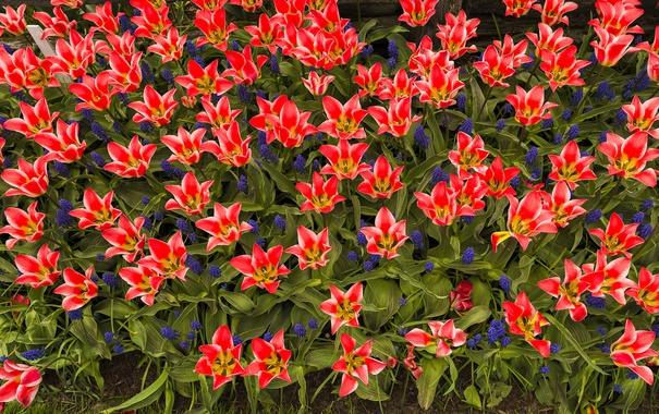 Фото обои весна, лепестки, сад, тюльпаны, клумба