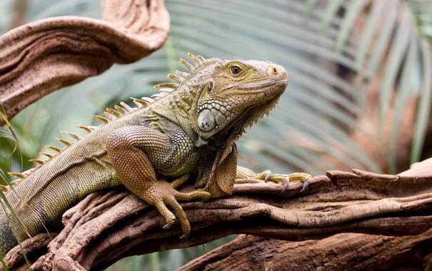 Фото обои iguana, tree, reptile